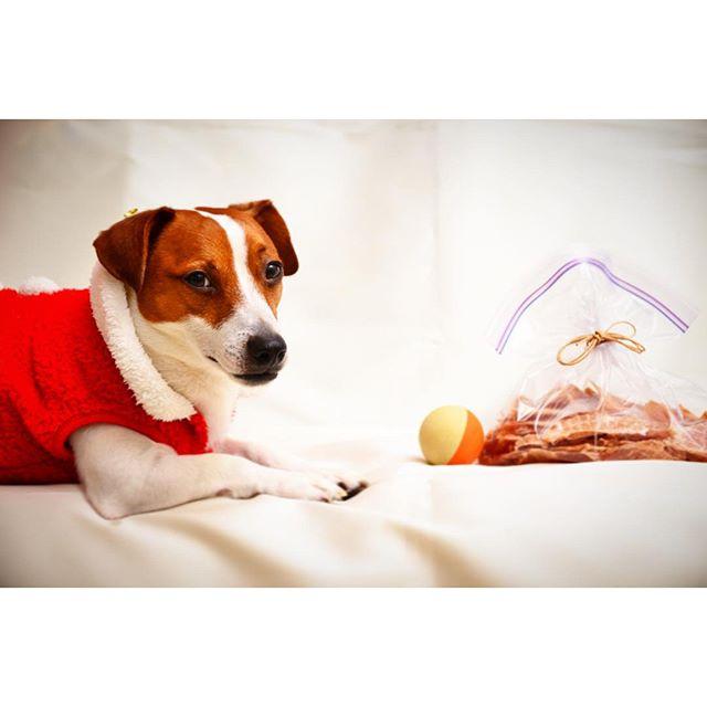 珠: 父ちゃん、クリスマスプレゼントはコレかい?父: 珠雄の大好きなボールと手作りジャーキーだよ。珠: 何時もと変わらない? #ジャックラッセルテリア#犬#dogslife#pet#jackrussell #xmas