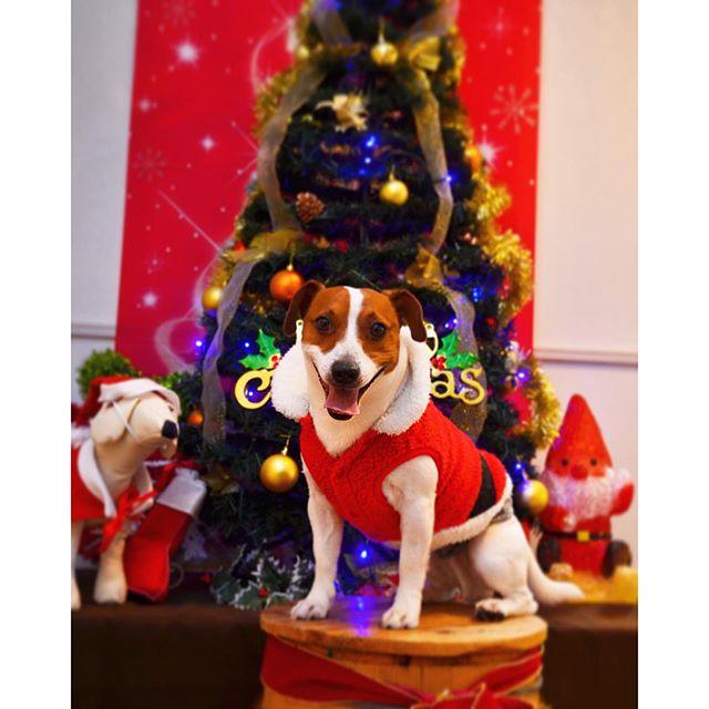 笑顔でメリークリスマス #ジャックラッセルテリア#クリスマス#犬#dogslife#jackrussell #pet
