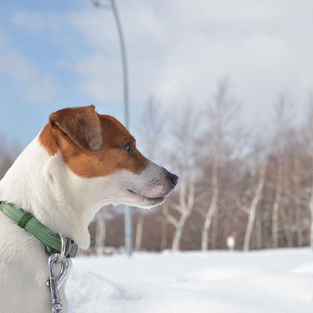 北海道思い出pic。白樺をバックに、#ジャックラッセルテリア#dogslife #jackrussell #dogsofinstagram