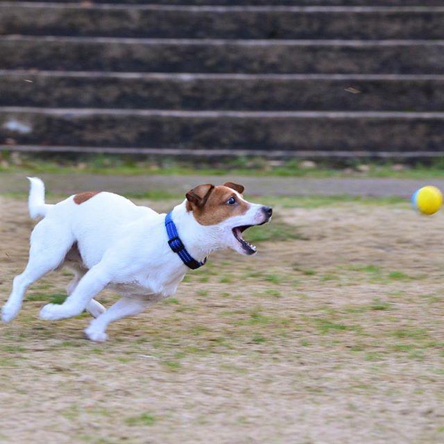 ボール!待て〜〜! #ジャックラッセルテリア#dogslife#jrt #jackrussell #pecoいぬ部