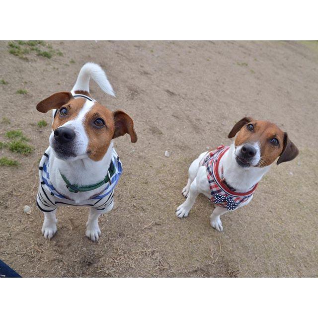 初めて兄弟に会うことができました。海(かい)君!似てる!#ジャックラッセルテリア#jackrussell #dogslife #dogstagram