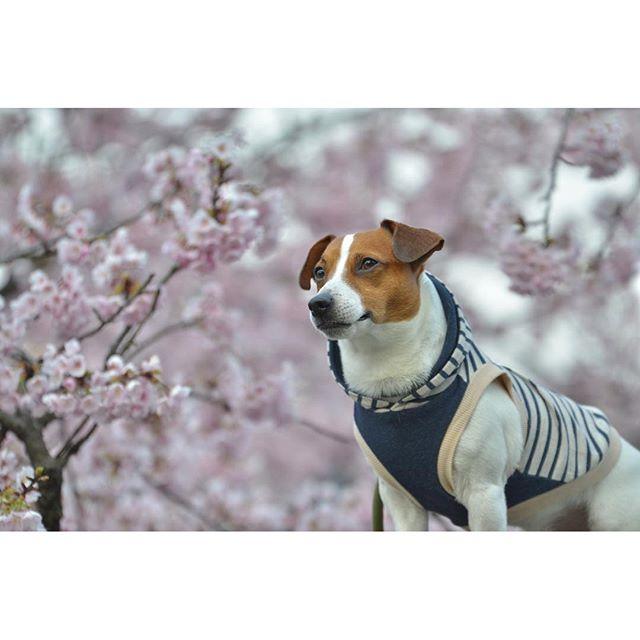 今年の初桜pic。早咲きの桜で。#花見犬#ジャックラッセルテリア部 #ジャックラッセルテリア #jackrussell #dogslife #桜 #さくら