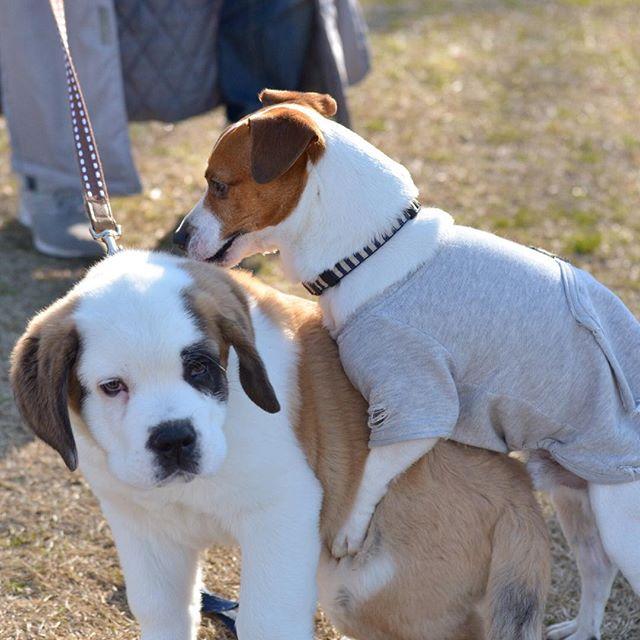 ワン友だった「はいどん」の後がまの「さだはる」君(セントバーナード)三ヶ月。そんなことできるのも今のうちだけ。#ジャックラッセルテリア #jackrussell #dogslife #dog #セントバーナード