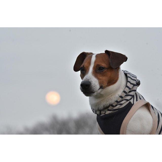 月が綺麗だったので、でも、ただの玉ボケになってしまいました。次回は合成で#ジャックラッセルテリア#jackrussell #dogslife #犬 #dogstagram #doglover