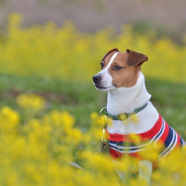 春だね〜。菜の花に挟まれて。#ジャックラッセルテリア#dogstagram #dogslife #jackrussellterrier #犬 #菜の花