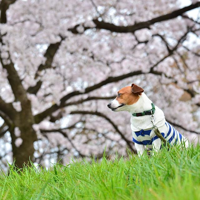 昨日は天気も良く、お花見日和。本日は雨風で大荒れ。次回の河川敷には、葉桜かな?#ジャックラッセルテリア#dogstagram #jackrussellterrier #dogslife #桜と犬