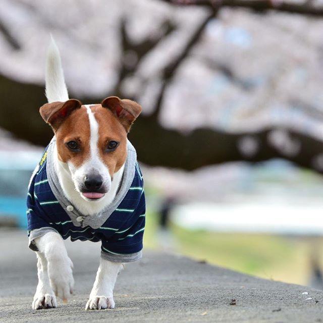河川敷桜をバックにベロだして、テケテケ! #ジャックラッセルテリア#dogstagram #dogslife #jackrussellterrier #桜