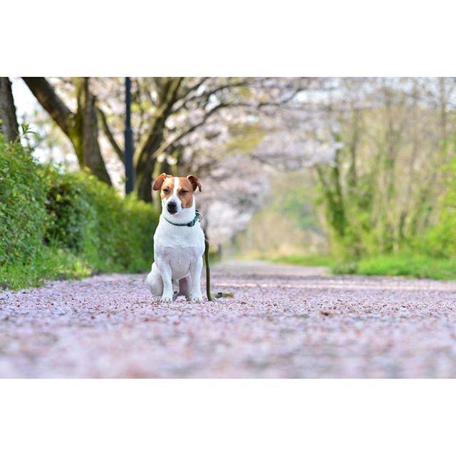 good morning!花びら散歩してきたよ。#ジャックラッセルテリア#dogslife #jackrussellterrier #dogstagram #桜と犬