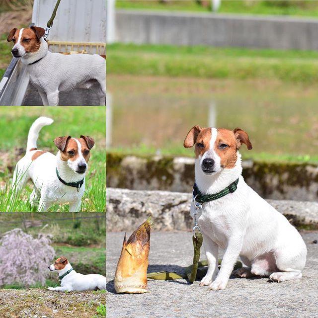 竹の子堀に来たよ。臭いのつけてお父さんに怒られた。僕もタケノコ食べれるかなぁ?#ジャックラッセルテリア#dogslife #jackrussellterrier #dogstagram