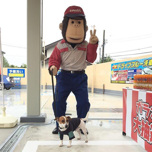 近所のガソリンスタンドのリニューアルオープン。エネオスでエネゴリくんとツーショット。ガラポン11回したけど全部はずれ。洗剤11個^^; #jackpurcell #jackrussell #ジャックラッセルテリア #dog #instadog #dogstagram