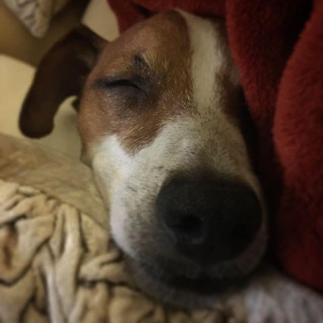 Goodnight  #jackpurcell #jackrussell #ジャックラッセルテリア#dog #instadog #dogstagram
