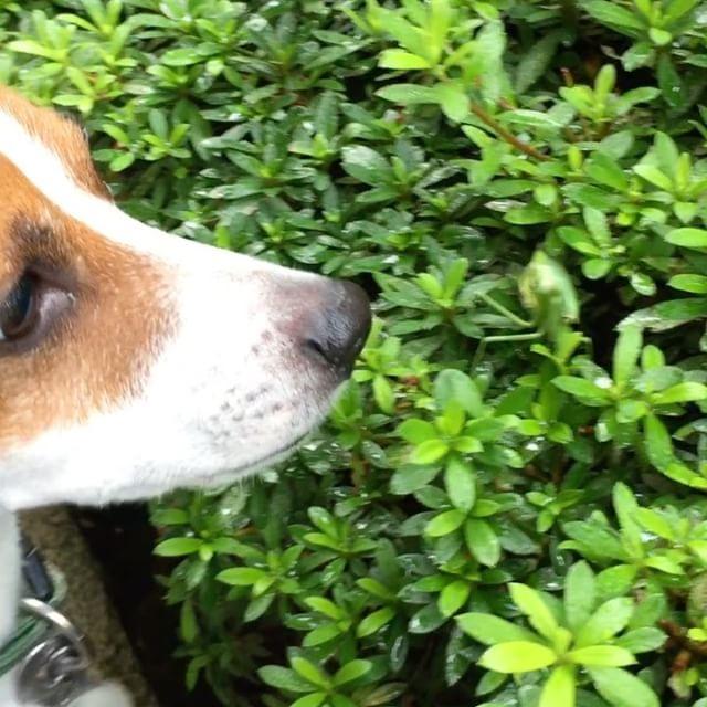 おはようございます。朝ンポの途中にお腹の大きなカマキリさんに遭遇。クンクンしたら、鎌で一撃!カマキリさんの勝ち。#jackpurcell #jackrussell #dogstagram #instadog #dog #ジャックラッセルテリア #カマキリさんの勝ち
