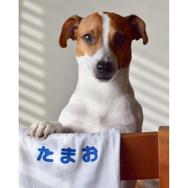 明日の運動会頑張るワン#jackpurcell #ジャックラッセルテリア #dog #instadog #dogstagram #運動会コーデ
