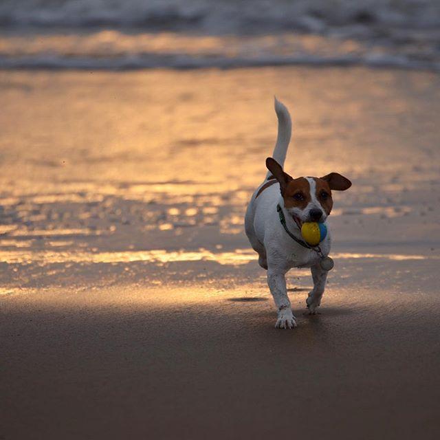 雨が上がった☂️ので夕日見に。#ジャックラッセルテリア #dog #instadogs #jackrussell #夕焼け海