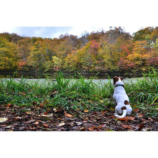 珠雄にとっては、紅葉などどうでもいい事。でも、飼い主のエゴにお付き合い。何時もポーズ大変です。#reflection #autumnleaves #紅葉 #リフレクション #刈込池 #jrt #dog #dogs #jackrussell #ジャックラッセルテリア