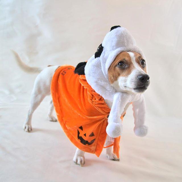 Happy Halloween  Trick or Treat(トリック・オア・トリート)ウマウマくれないとイタズラしちゃうぞ?#ハロウィン #ジャックラッセルテリア #jackrussell #peco犬部 #halloween #instadog #dogstagram #Trick or Treat #トリック・オア・トリート