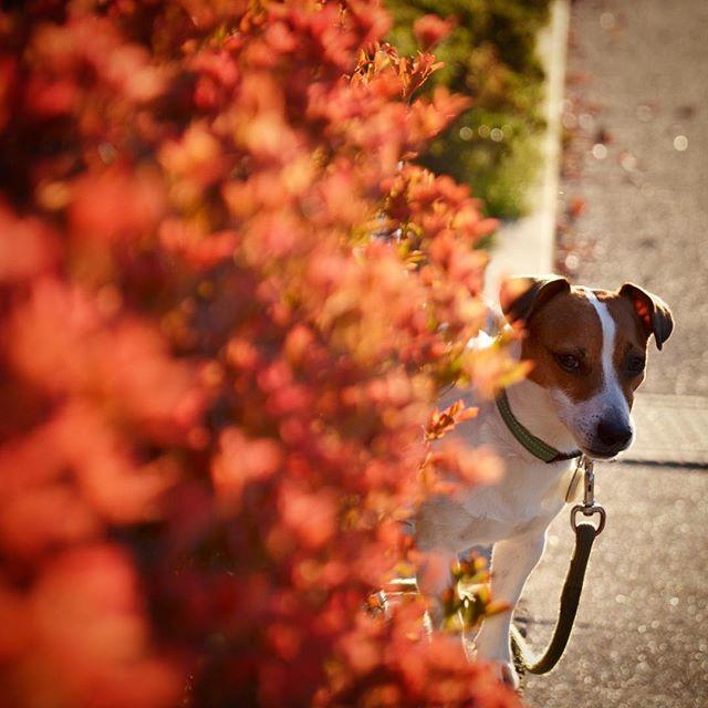 紅葉の陰から、おはようございます。今日は晴れ️模様。明後日からのお休みは、天気がイマイチ#jackrussell #instadog #autumnleaves #dogstagram #jrt #jrtlove #ジャックラッセルテリア