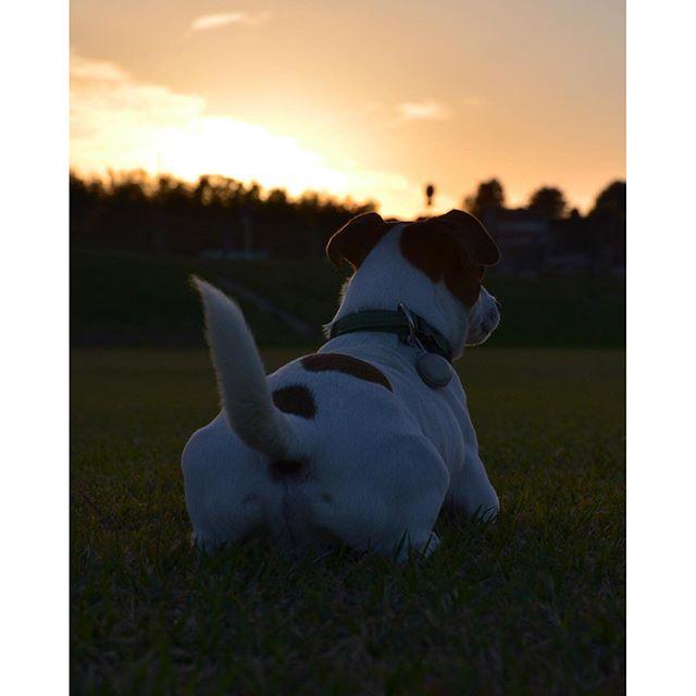 おちりで失礼します。秋晴れの夕方、楽しい一日の終わりに。#ジャックラッセルテリア #instadog #jrt #dogs #jackrussell #sunsettime #黄昏 #一日の終わり