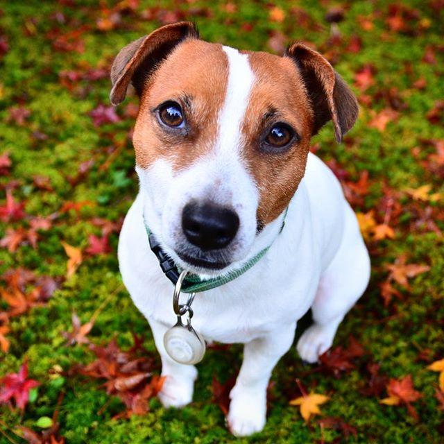 今日の金沢は雨。写真は昨日の朝。写真撮りに呆れ顔。早く散歩の続きいきたいワン。#落ち葉 #ジャックラッセルテリア #紅葉 #jackrussell #dogstagram #dog #instadog #west_dog_japan #autumnleaves