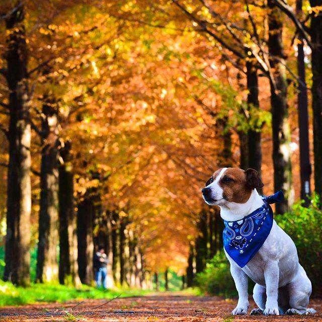 太陽が丘のメタセコイアにリベンジ。いい色になっていました。#ジャックラッセルテリア #メタセコイア並木 #west_dog_japan #instadog #dog #jackrussell #dogstagram