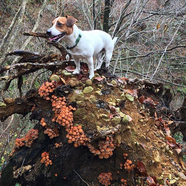 今日もキノコ採りへ。倒れた木の根元に沢山のクリタケ。父ちゃんの興奮に、珠雄も興奮。茶色のつぶつぶが、キノコです。#ジャックラッセルテリア #キノコ採り #クリタケ #jackrussell #dogstagram #dog #instadog #west_dog_japan #mushroom hunting #mushrooms