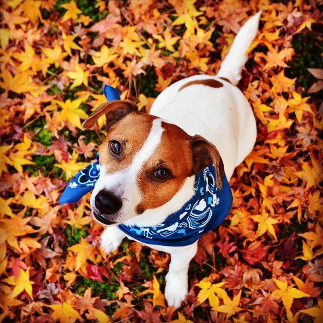 散歩コースのお寺にある駐車場にて。お寺の名前は天徳院。珠雄の名前の由来、利家と松の珠姫が祀られているらしく、珠の字。モミジがいっぱい。#ジャックラッセルテリア #モミジ #もみじ #紅葉 #dogstagram #jackrussell #dog #instadog #west_dog_japan #autumnleaves