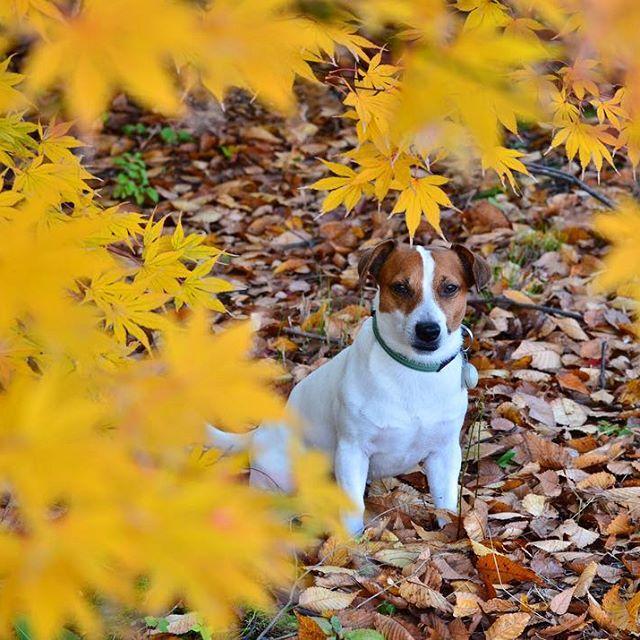 アサンポのモミジ。早く赤色にならないかな〜#ジャックラッセルテリア #モミジ #紅葉 #jrt #dog #instadog #pecoイヌ部 #dogsofinstaworld #west_dog_japan #jackrussell