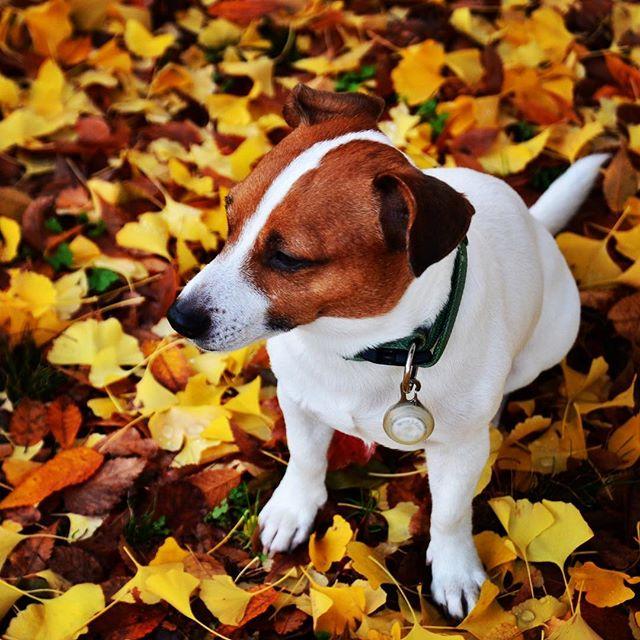 銀杏の葉が沢山落ち始めました。もうすぐ冬がやって来る、今年の雪遊びは何しよう?#ジャックラッセルテリア #落ち葉 #銀杏 #autumnleaves #west_dog_japan #instadog #dog #dogstagram #jackrussell