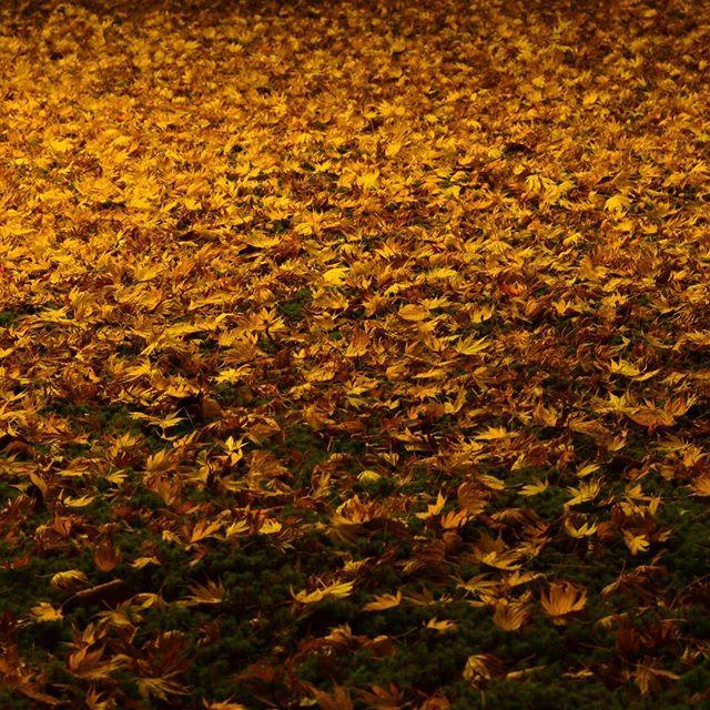 今日で11月も終わり。紅葉も終わり。#autumn #lightup #kenrokuen #金沢 #兼六園 #ライトアップ