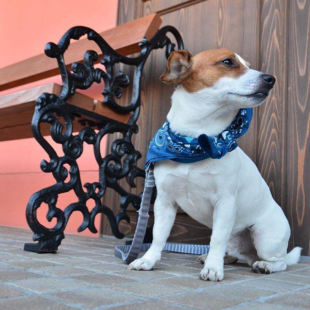 ケーキ屋の前で。美味しい臭いにクンクン。#jackrussell #instadog #dogsofinstaworld #dogsphotography #dogstagram #ジャックラッセルテリア