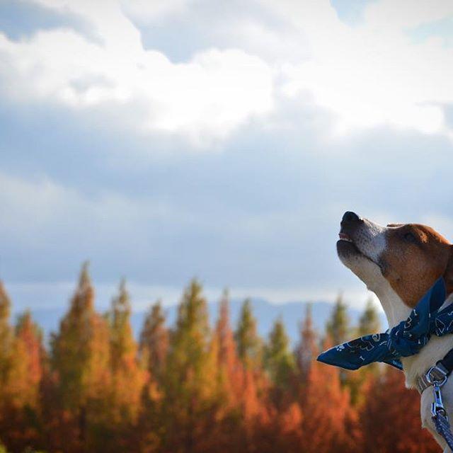 秋の匂いにクンクン?本日の金沢は雨☂️。写真は11.23晴れた日️。#ジャックラッセルテリア #autumnleaves #west_dog_japan #instadog #jackrussell #dogsofinstaworld #dogsphotography
