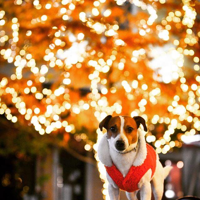 サンタコス、ピチピチで前ボタンが止まらない#ジャックラッセルテリア #イルミネーション  #dog #illumination #illuminati #jackrussell #west_dog_japan #instadog #dogstagram #dogselfie
