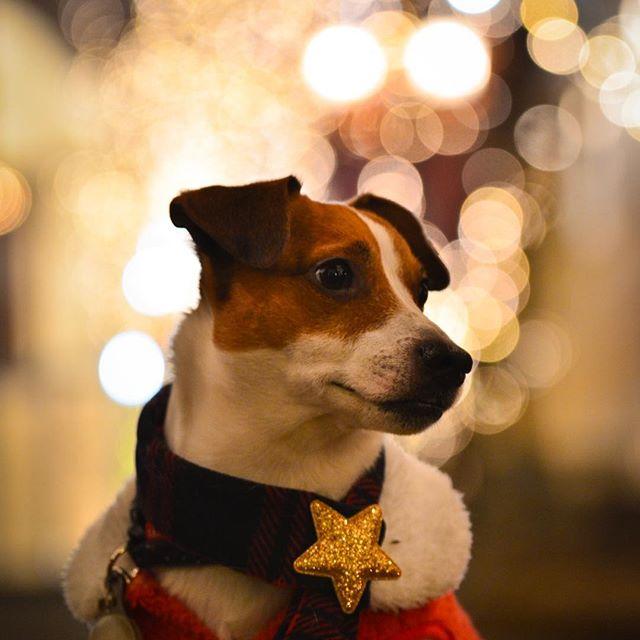 ぼくは、誰を待つのだろう?サンタさんは、くるのかな?#ジャックラッセルテリア #サンタコス #イルミネーション #jackrussell #doglover #gunshots #instadog #christmas #west_dog_japan #santacruz