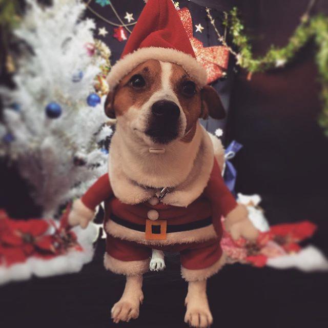 ペットショップの撮影ブースでサンタコス。もらったコメにもあるけ首太いね。#ジャックラッセルテリア #サンタコス #santacruz #jackrussellterrier #jackrussell #doglover #gunshots #instadog #christmas
