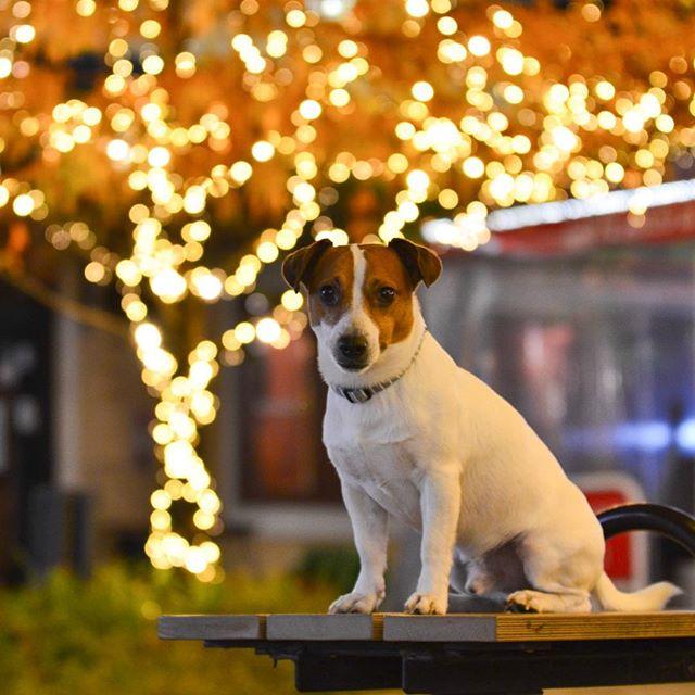 イルミの前で、ハイポーズ。#jackrussellterrier #jackrussell #dogstagram #instadog #dog #illumination #illuminati #ジャックラッセルテリア #イルミネーション #west_dog_japan