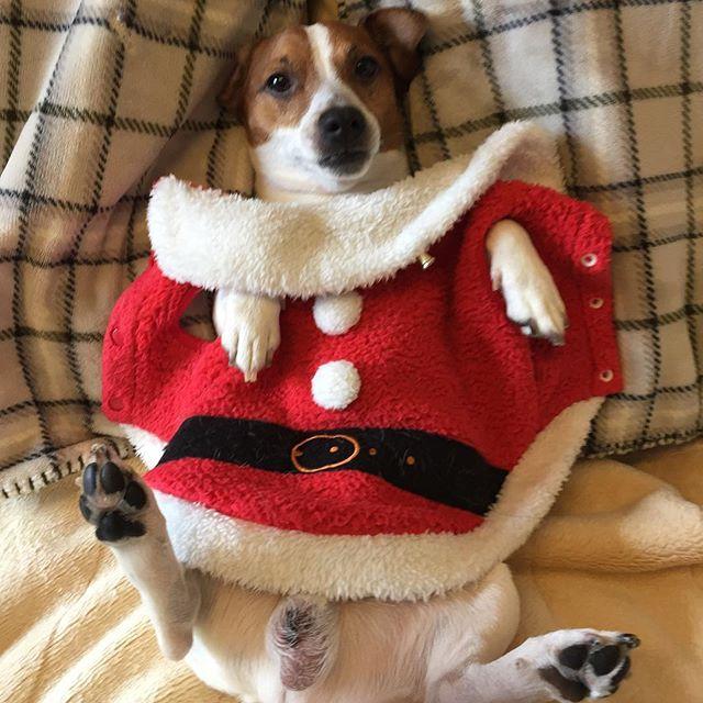 犬服は、反対で着られない。サンタコスも後3日。#ジャックラッセル #サンタコス #dogselfie #gunshots #doglover #jackrussell #jackrussellterrier #santacruz