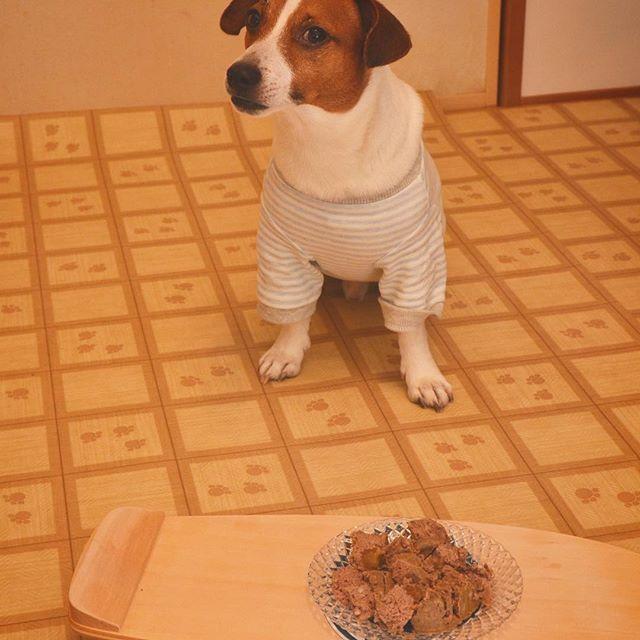 Happy birthday Tamao!!お誕生日おめでとう️4歳の誕生日。大晦日は、父ちゃん何時も仕事、、、生タイプフードでケーキの代わり。#ジャックラッセルテリア #誕生日 #west_dog_japan #instadog #dogstagram #dog #doglover #jackrussell