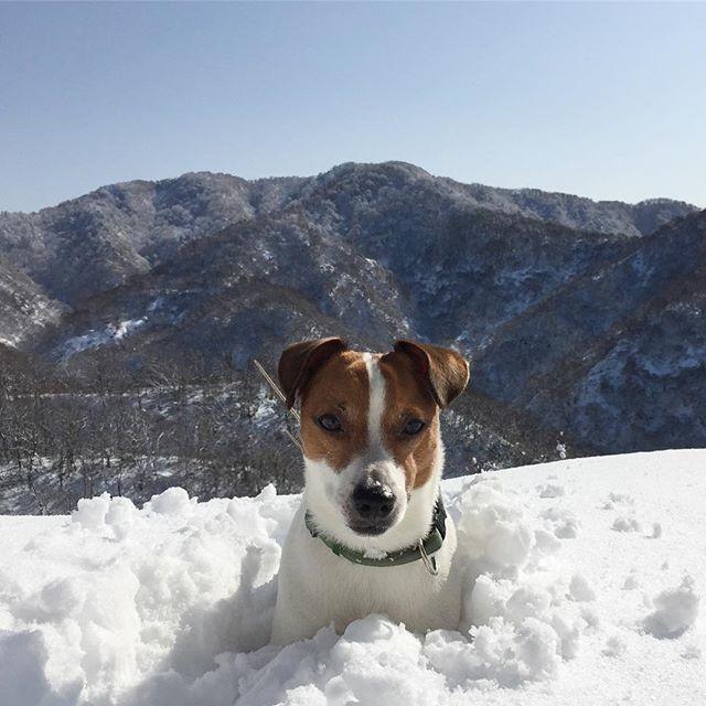 今日は、雪山登山。天気が良くて楽しいぜ!#ジャックラッセルテリア #雪遊び犬 #医王山#jackrussellsofig #snowdog #jackrussell #jackrussellterrier #doglover #dogstagram