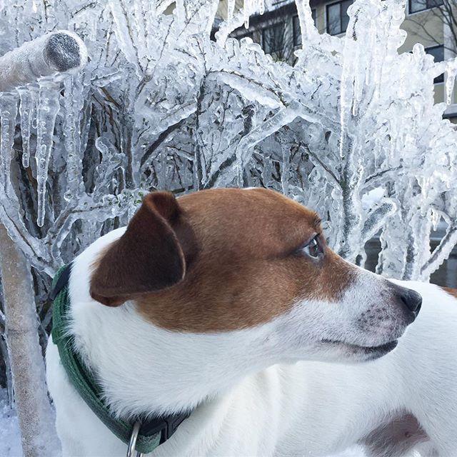 融雪水出来たミニ氷瀑。道路脇の樹木が氷漬け。#ジャックラッセルテリア #ミニ氷瀑 #doglover #dog #jackrusselllife #jackrussellterrier #dogstagram #dogselfie