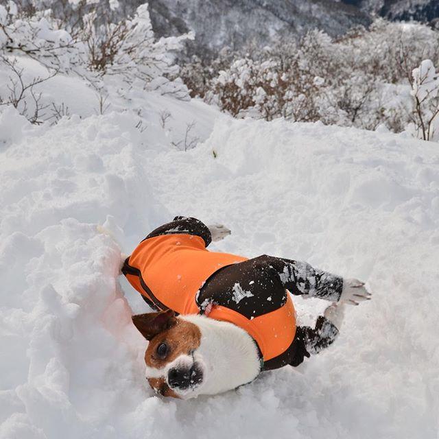 雪山ハイキング🏔の帰り道、寒いかなと思い、アルファアイコン装着!すると、珠雄→アザラシに変身。どんだけ服嫌なん?#dogs #dogselfie #jackrussell #jackrussellterrier #jrt #instadog #ジャックラッセルテリア #アルファアイコン