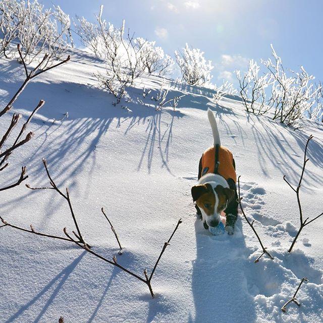 今日も雪山ハイキング。樹氷が見れてラッキー。#ジャックラッセルテリア #雪山ハイキング  #樹氷#jackrussellterrier #jackpurcell #jackrussell #instadog #snowdog #dogstagram #dogselfie #doglovers