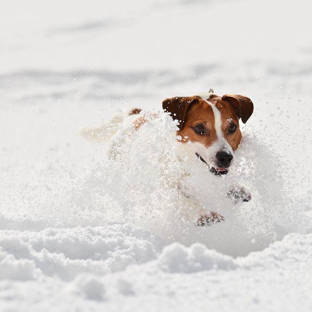 ヒャホ〜、楽しいぜ!先日の山での雪遊び。その日夜は、ぐっすり #west_dog_japan #jackrusselllife #jackrussellterrier #dogstagram #dogselfie #jackrussellsofig #snowdog #ジャックラッセルテリア #裸族 #雪遊び犬
