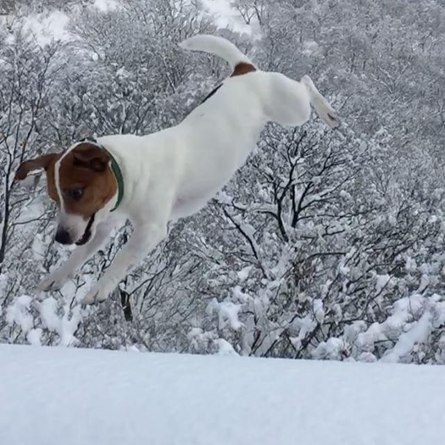 前回のポスト、珠雄のジャンプではありません。ふっかふかの新雪に放り投げ。珠雄が埋れます。スローだと雪のクラウンが。#ジャックラッセルテリア #新雪 #snowdog #west_dog_japan#dogs #dogselfie #instadog #flyingdog #jackrussell #jrt #jackpurcell #jackrussellterrier