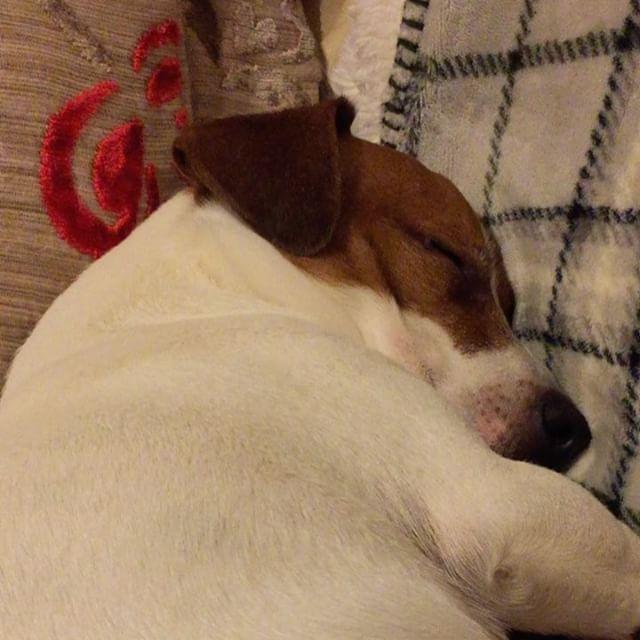 本日の雪山が疲れたのか昼間のお昼寝が無かったからか、何しても起きません I want to sleep#jrt #jackrussell #jackrussellterrier #doglover #dogstagram #sleepydog #dogselfie #dogs #ジャックラッセルテリア #ジャックラッセル #ジャック部