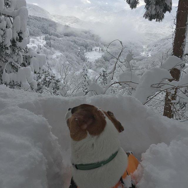 先週について今日も雪山。今日は先週よりももっと綺麗だ。ただし新雪の為、ラッセル、ラッセル!#ジャックラッセルテリア  #instadog #jackrussellterrier #jackrussell #dogselfie #dogs #snowdog #west_dog_japan