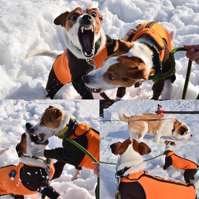 先週の一コマ。珠雄は、ケリーちゃん @cottorit0525 に遊ぼよ。しかし、ケリーちゃんは執念態度の珠雄にガウリング。ジャックだね。でも仲良くセントバーナードのさだはる君一歳に、シンクロウオッチング。#ジャックラッセルテリア #doglovers #instadog #snowdog #dogstagram #dogselfie #jrt #jackpurcell #jackrussell #