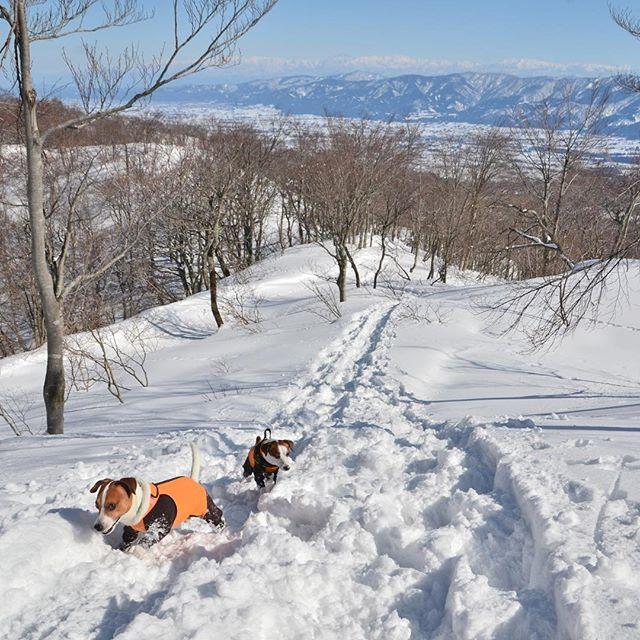 又、山歩き。今日は、ワン友のシロちゃんと医王山へ。あれ?先週もいたよね。と声を掛けられる。遠くに立山連峰が見え、白山をも望む事ができた楽しい山歩きでした。#ジャックラッセルテリア #雪山ハイク #jrt #jackpurcell #dogstagram #dogslover #jackrussellterrier #snowdog #snowhike