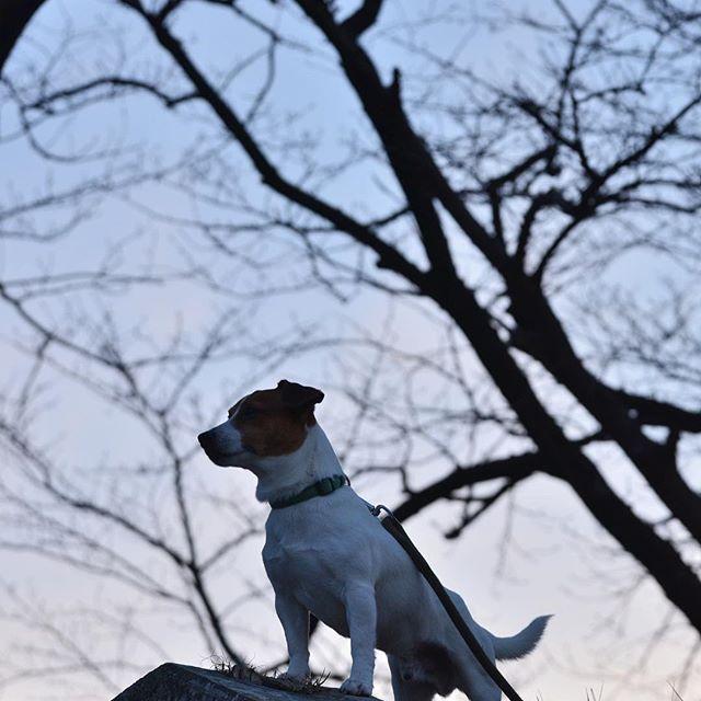 久しぶりの河川敷。今日は暖かい日でした。少しづつ日が長くなってますね。#ジャックラッセルテリア #シルエット #dogslover #jackrussellterrier #dogselfie #instadog #jrt