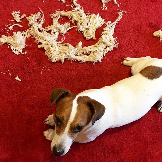 あ〜〜〜雨で️イライラ、頑張って壊したよ。#ジャックラッセルテリア #doglover #jrt #dogselfie #dogstagram #jackrussell #jackrussellterrier