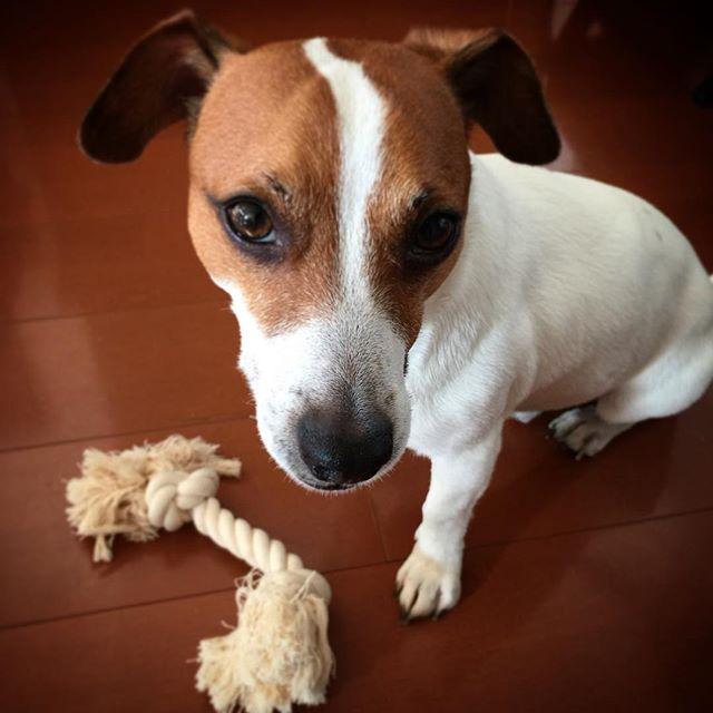 前回のおもちゃは此方です。一度に全部ではないよ。。前回は半分を破壊。かみかみ、歯磨きの代わり。。 #ジャックラッセルテリア #jackrussellterrier #jackrussell #dogstagram #dogselfie #jrt